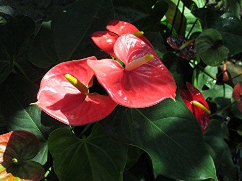 lace leaf flowers at the garden: Anthurium (English Edition) por Maya Baron