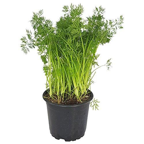 BIO Dill-Pflanze, einjährig von DESCENA, Anethum graveolens, Gurkenkraut Gewürzkraut typisches Küchenkraut, Gärtnerqualität, im Topf