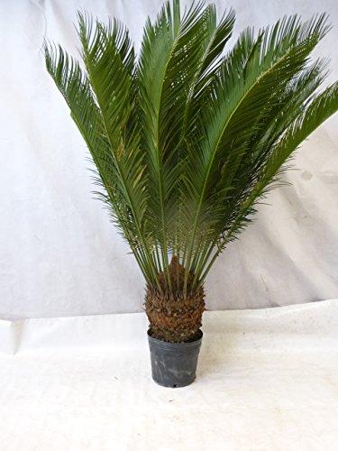 [Palmenlager] - Cycas revoluta 160 cm - Stamm 30/40 cm Sagopalme - Palmfarn