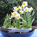 Doubleer 100pcs Bianco Daffodil Fiore Semi (non daffodil bulbi) Bonsai Petali di Fiori Acquatici Piante da Giardino
