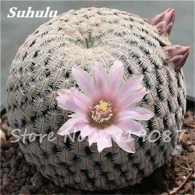 100 Pcs vrai Cactus Seeds, Mini Cactus, Figuier, japonais Succulentes Bonsai Graines de fleurs, Plante en pot pour jardin 8