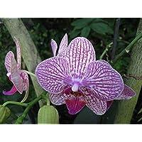 Visa Store NF564xT23: 2018 Nouveautés !!24 tipos de fondos de floración de orquídeas Phalaenopsis pour votre choix - (Couleur NF564xT23)