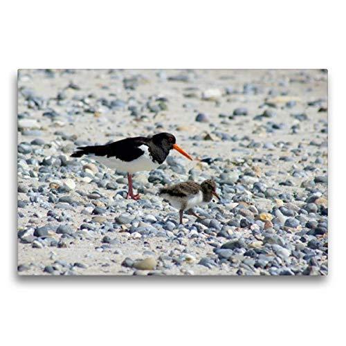 Calvendo Premium Textil-Leinwand 75 cm x 50 cm quer, Austernfische mit Küken   Wandbild, Bild auf Keilrahmen, Fertigbild auf echter Leinwand, Leinwanddruck: Insel Helgoland Natur Natur -