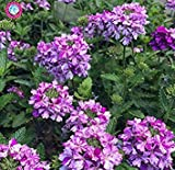 6: Graines Verveine rares 50pcs Verbena hybrida Bonsai Graines de Fleurs vivaces Plantes aromatiques Plantes d'intérieur Balcon pour Jardin 6