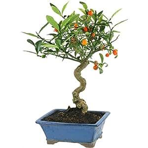 Kumquat, Bonsai, 10 anni, 42cm