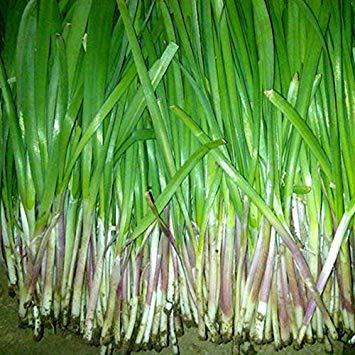 120 Samen/Pack, Lila Wurzel Lauchsamen, Gemüsegarten Bio-Gemüse Lauch Impotenz wachsen