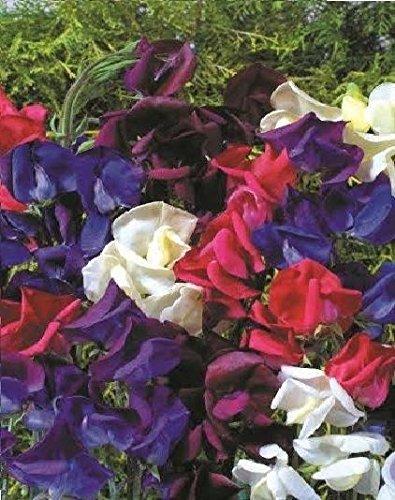 fiore-pisello-odoroso-old-spice-starry-night-200-semi-confezione-grande