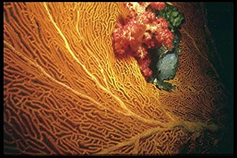 012045 Orange Sea Fan With Red Coral A4 Photo Poster Print 10x8