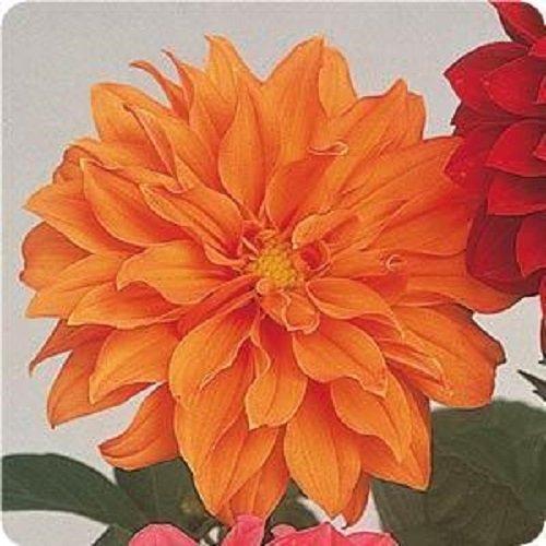 dahlia-figaro-orange-shades-25-seeds
