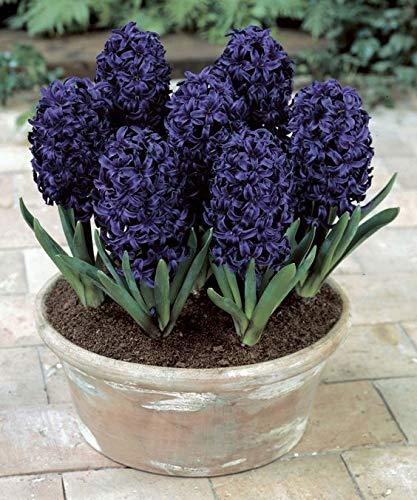 Nouveaux 100pcs jacinthe bonsaï mixte couleur non fleur de bulbes rares Beautifl intérieur fleurs vivaces pour le noir de jardin à la maison (graines SEULEMENT)