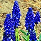 Shopmeeko 100 STK/Beutel Jacinto bons¡i Blume (Nicht Jacinto) Holland Blume Hydrokultur Pflanze Außen für Garten Haus: 2