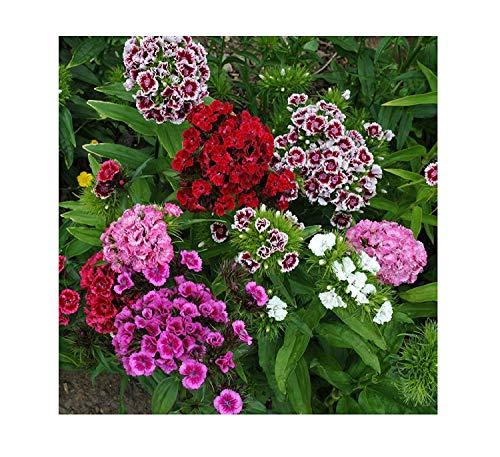 50x Sweet William Noverna Mixed F1 Dianthus Barbatus Samen Blumen #389 -