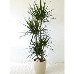 """[Palmenlager] Dracaena marginata""""magenta"""" 4er Tuff - 150 cm - Drachenbaum/pflegeleichte Zimmerpflanze"""