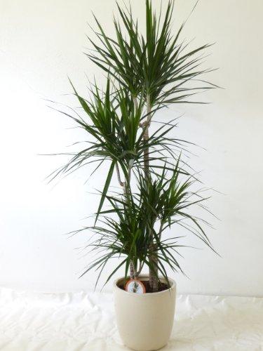 [Palmenlager] Dracaena marginata'magenta' 4er Tuff - 150 cm - Drachenbaum/pflegeleichte Zimmerpflanze