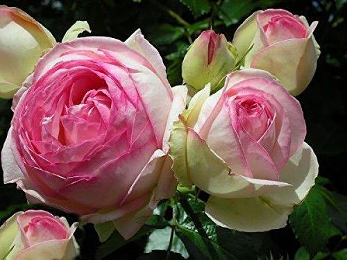 Rosarot Pflanzenversand p342