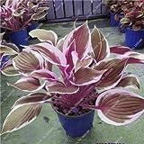 Hosta Samen Bonsai Topfpflanze seltenes Kraut Blühende Pflanzen Bodendecker Seed-Hausgarten Zier Easy Grow 100 PC/Beutel 3
