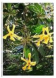 TROPICA - Wilder Frangipani (Hymenosperum favum (Hook.)) - 30 Samen