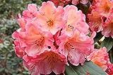 FARMERLY Semi organici: Miele di Rododendro ER - # 2 Container - Bright Orange Blooms! by