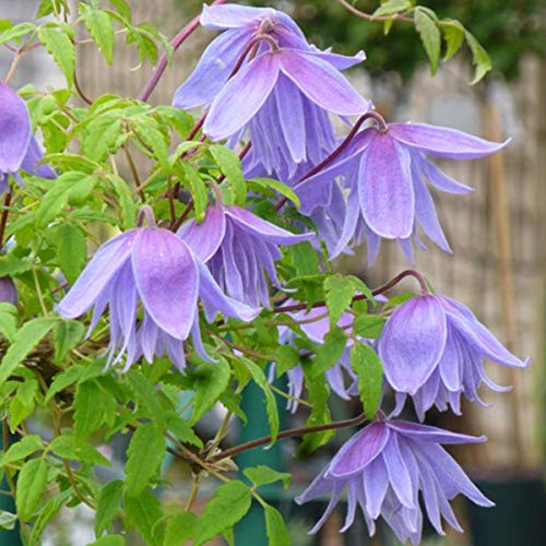 Clematis Alpina 'Frankie' 50-60 cm potted