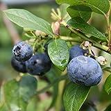 Heidelbeeren Goldtraube Heidelbeere Blaubeere Vaccinium corymbosum große Früchte reichtragend 3 Pflanzen 30-40 cm im Topf