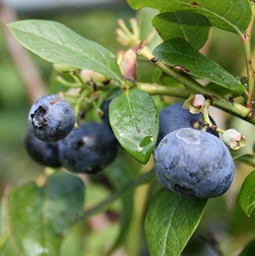 3er Set Heidelbeere Goldtraube Heidelbeeren winterhart Blaubeere Vaccinium corymbosum große Früchte reichtragend