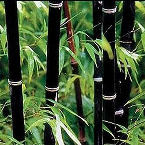 Anitra Perkins - 100 stücke Bunte Bambus Samen China Moso Bambus Pflanzen Samen Saatgut Zierpflanzen winterharte bunte Samen für Ihre Garten (Schwarz)