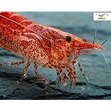 Garnelio - Red Cherry Garnele - Red Fire Garnele - Neocardina davidi 'Red' - 5er Gruppe