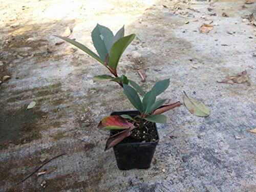 Fotinia Pianta di Fotinia in vaso 7x7 cm Photinia Red Robin - 40 Piante in Vaso cm 7