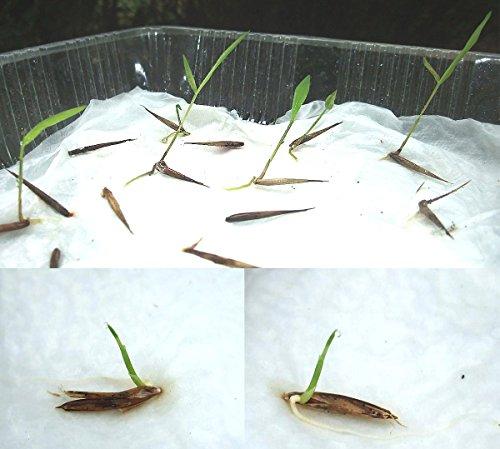 Zoom IMG-3 semi di bambu gigante 60