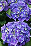 Hortensie blaue Blüte Bauernhortensie Bela Hydrangea macrophylla Bela Containerware 30-40 cm hoch