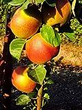 Apfel Roter Boskoop. Busch. 1 Pflanze - zu dem Artikel bekommen Sie gratis ein Paar Handschuhe für die Gartenarbeit dazu