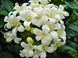 #8: Chalcas Sumatrana Jasmine Seeds - Plant it near the house to take advantage of its perfumed flowers 10 Seeds by Creative Farmer