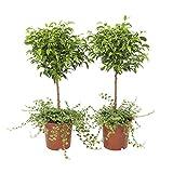 BOTANICLY | 2 × Plantes vertes d intérieur - Figuier rampant | Hauteur: 65 cm | Ficus Pumila