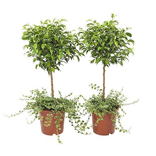 BOTANICLY | 2 × Plantas naturales - ficus arrastrándose