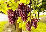 Weintrauben Pflanzen kernlos Vanessa Weinrebe winterhart Weintraube pilzfest Wein rosa Frücht 60-100 cm im Topf