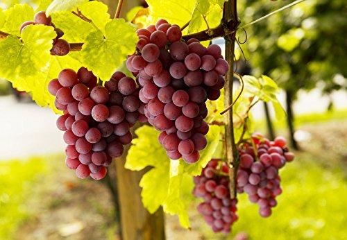 Weintrauben Pflanzen kernlos Vanessa Weinrebe winterhart Weintraube pilzfest Wein rosa Frücht...