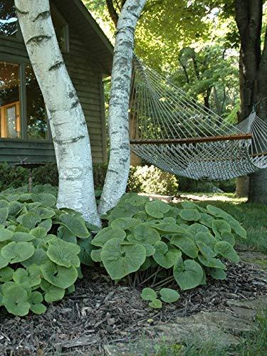 GEOPONICS FICHTEN KEGEL CHOLLA (TEPHRO articulatus) gesunde Pflanze mit Wurzeln -