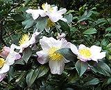 10 Camellia sinensis var. sinensis Samen, chinesischer Teestrauch, frisch aus China