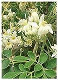 TROPICA - Moringa (Moringa oleifera) - 15 graines- Plante utile