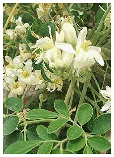 TROPICA - Moringa (Moringa oliefera) - 15 Semi- Piante utili