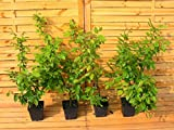 10 Stück Carpinus betulus * (Weißbuche oder Hainbuche), Weißbuchenhecke, Hainbuchenhecke * Topf 1,5 Liter 40-60 cm