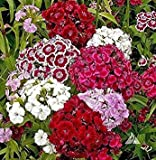 Shoppy Star Shoppy étoiles: 500 graines: William doux, (graines) Blanc/Rose/Rouge, Graines de fleurs, Dianthus barbatus (500 graines)...