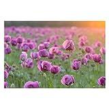Fototapete Mohnblumen - Violette Schlafmohn Blumenwiese im Frühling - Vliestapete Premium Breit, Größe HxB: 255cm x 384cm