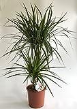 AIRY Drachenbaum Zimmerpflanze - Dracaena marginata - Natürlicher Luftfilter für