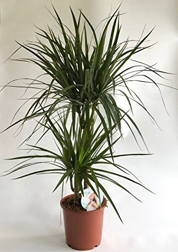 AIRY Drachenbaum Zimmerpflanze - Dracaena marginata - Natürlicher Luftfilter für spürbar gesünderes Raumklima - Passend zum innovativen AIRY Pflanzentopf (17cm breit)