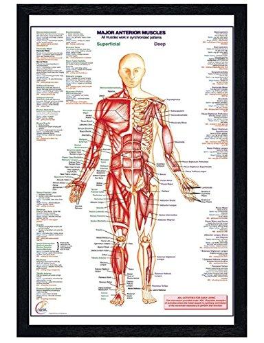 Schwarzes Holz eingerahmtes Human Body Major Anterior Muscles Poster 61x91,5cm