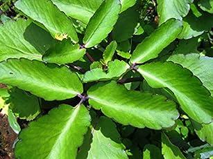 Live Panfuti Patharchatta Medicinal Plant
