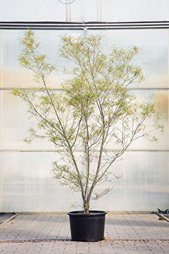 Farnblättriger Faulbaum, 125-150 cm, im Topf (20 Liter), Zierstrauch gelb blühend, Solitär Busch für Sonne bis Halbschatten, Gartenpflanze winterhart, Rhamnus frangula Asplenifolia