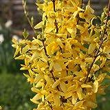 Forsythie 'Minigold' - Forsythia 'Minigold' - Blütenreicher Frühjahrsblüher - Blütenstrauch