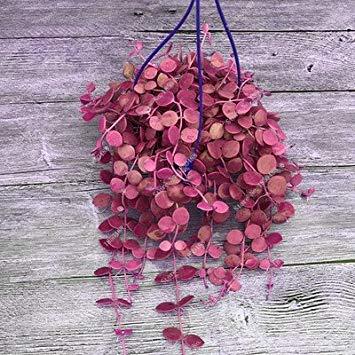 Semi plat firm-colorati appesi parthenocissus tricuspidata perenne seme vaso da fiori piante anti-radiazioni ultraviolette ray 50 pz 9
